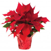 1.5 qt. Live Poinsettia (In-Store Only)