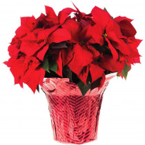10 in. Live Poinsettia (In-Store Only)