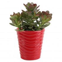 Costa Farms 4 in. Jade Crassula Plant in Red Ceramic Pot